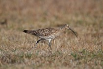 00675-Eurasian_Curlew