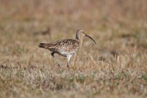 00676-Eurasian_Curlew