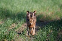 00709-Brown_Hare