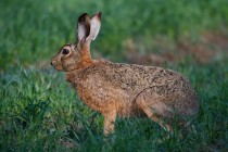 00715-Brown_Hare
