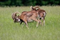 00718-Mouflons