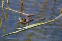 00731-Edible_Frog