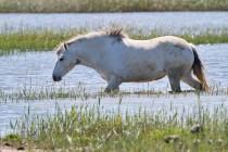 00733-Camargue_Horse