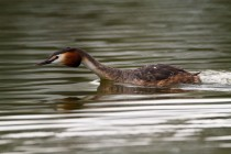00740-Great_Crested_Grebe