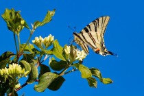 00744-Scarce_Swallowtail_O