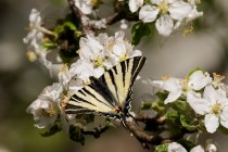 00745-Scarce_Swallowtail_O