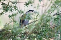 00747-Black-crowned_Night_Heron