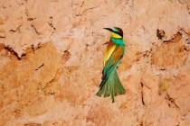 00750-European_Bee-eater