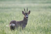 00753-Roe_Deer