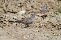 00754-European_Turtle_Doves