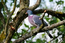 00755-Common_Wood_Pigeon