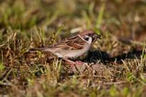00757-Tree_Sparrow