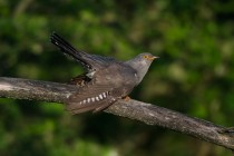 00760-Common_Cuckoo