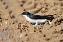 00762-Common_House_Martin