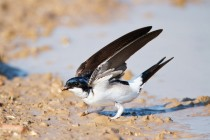 00764-Common_House_Martin_O
