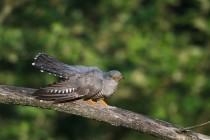 00766-Common_Cuckoo