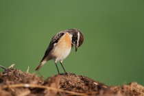 00771-Whinchat