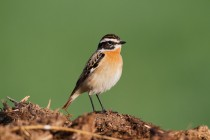 00772-Whinchat