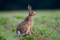 00773-Brown_Hare