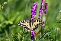 00779-Swallowtail