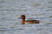 00780-Tufted_Duck