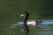 00786-Tufted_Duck