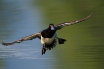00787-Tufted_Duck