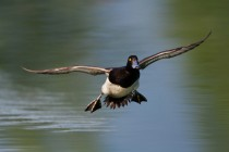 00788-Tufted_Duck