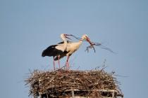 00790-White_Storks