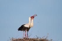 00791-White_Storks_O