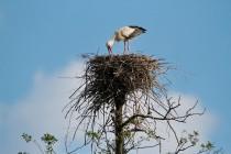 00792-White_Storks