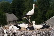 00793-White_Storks