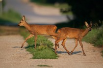 00800-Roe_Deers