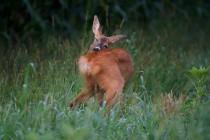 00804-Roe_Deer