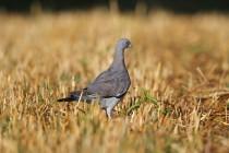 00814-Common_Wood_Pigeon