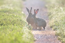 00818-Brown_Hares