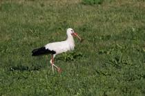00824-White_Stork