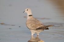 00828-Eurasian_Collared_Dove