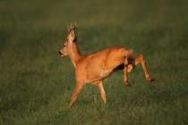 00829-Roe_Deer