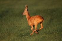 00830-Roe_Deer