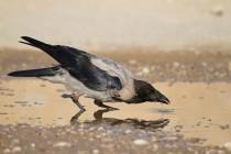 00831-Hooded_Crow