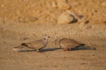 00832-Eurasian_Collared_Dove