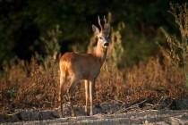 00834-Roe_Deer