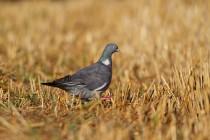 00835-Common_Wood_Pigeon