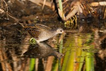 00837-Spotted_Crake