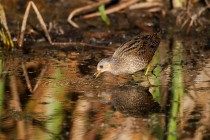00838-Spotted_Crake