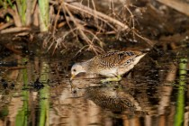 00840-Spotted_Crake