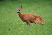 00849-Roe_Deer