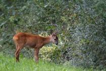 00850-Roe_Deer
