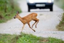 00851-Roe_Deer